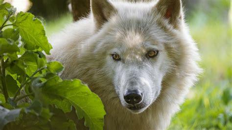 HD Hintergrundbilder wolf weiß haare schnauze augen