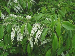 Prunus serotina (black cherry): Go Botany