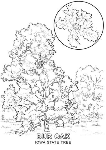 iowa state tree coloring page  printable coloring pages