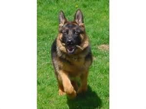 Free German Shepherd Puppies Adoption Wisconsin