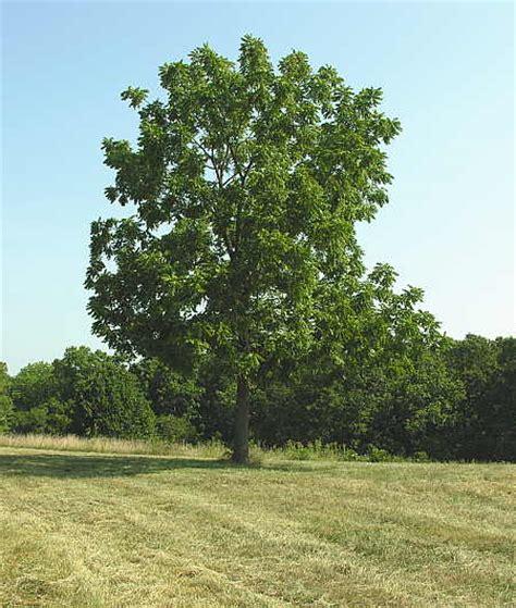 walnut tree walnut tree pictures information on the walnut tree species
