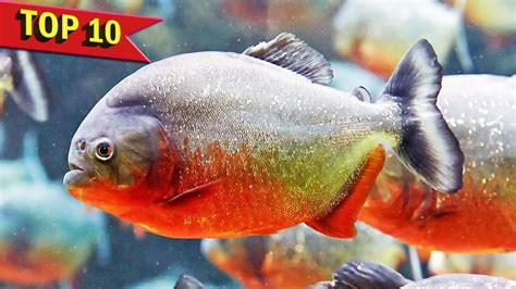 top  aggressive aquarium fish youtube