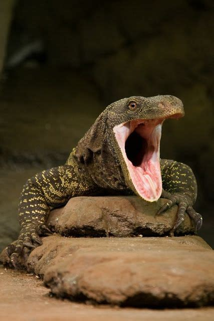 crocodile monitor facts  pictures