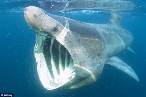 huge basking shark seen struggling just 15ft off scottish