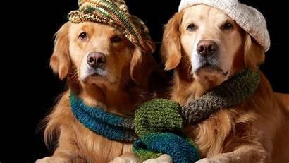 Golden Dog Hat Scarf Retrievers Wallpapers Animals