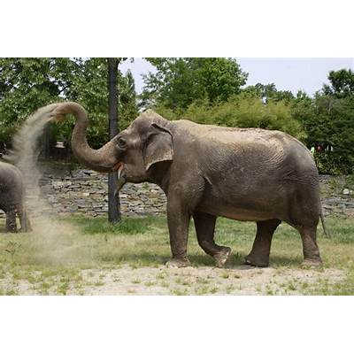 Asian ElephantThe Life of Animals