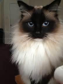 rag doll cats beautiful pedigree ragdoll cat for bishops
