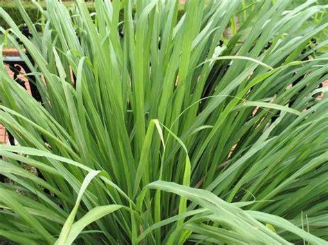 lemongrass landscaping lemon grass traditional landscape st louis by missouri botanical garden