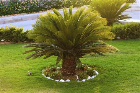 Outdoor Sago Palm Plants - How To Care For Sago Palm Outside