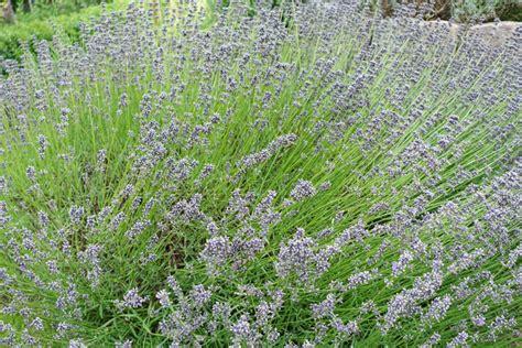 true lavender plants true lavender photograph 1629695 freeimages com