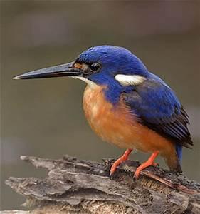 Oiseau Jaune Et Bleu : galerie sar nop classement alphab tique photos ~ Melissatoandfro.com Idées de Décoration