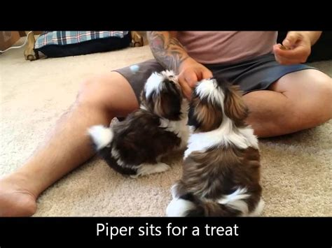 week  shih tzu puppies learn  basic obedience