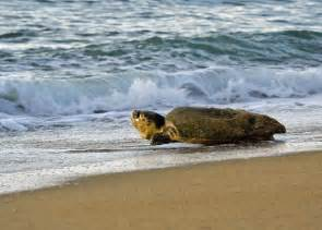 Outer Banks Sea Turtle