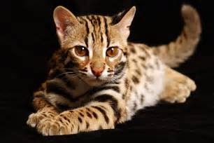 tiger cat tiger cat image search results