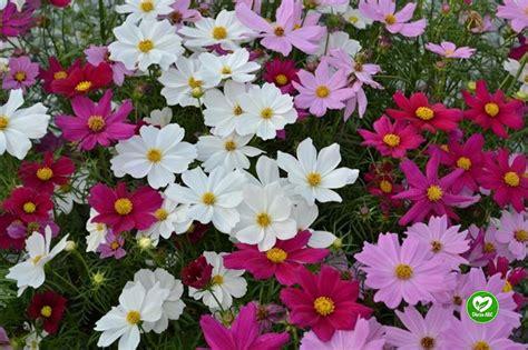 Dārza ABC - Kosmejas - vasaras puķes