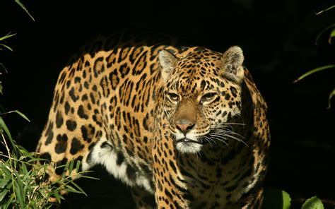 Jaguar Animal Wallpaper by Jaguar Hd Wallpaper Background Image 1920x1200 Id