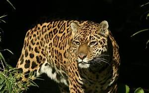 Jaguar Full HD Wallpaper and Background   1920x1200   ID ...