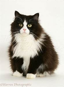 WP26267 Black-and-white Persian-cross cat, Flora , 6 years ...