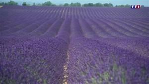 Culture De La Lavande : en provence les champs de lavande sont en fleur lci ~ Melissatoandfro.com Idées de Décoration