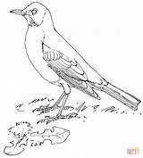 Robin Coloring American Bird Pages Printable Robins Thrush Nature Supercoloring Drawing Crafts Select Category Garden Drawings Draw Dot sketch template