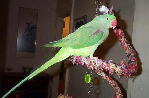 alexandrine parrot facts behavior  pets price