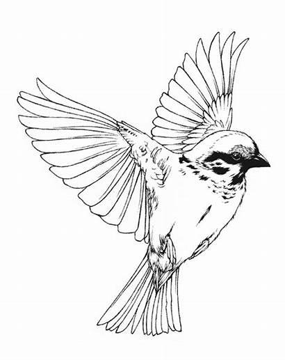 Bird Drawing Flying Birds Song Viola Everything