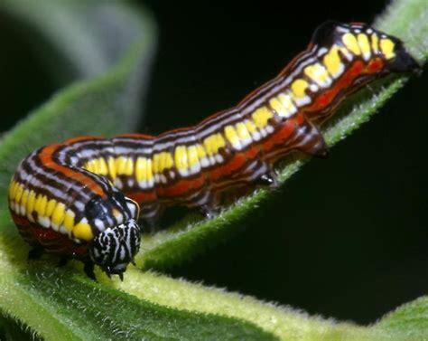 flying kiwi caterpillar photo galleries