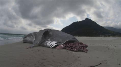 evidence  megalodon megalodon  monster shark
