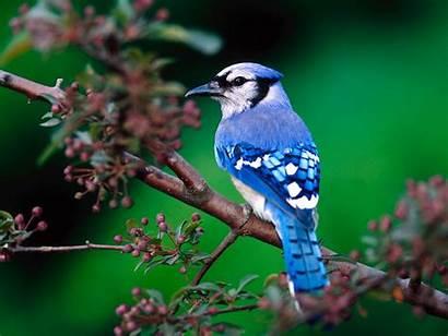 Birds Widescreen Desktop Bird Wallpapers Jay Windows