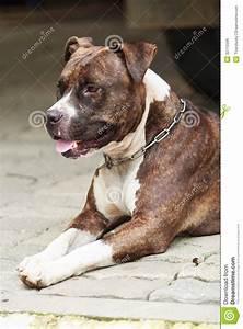 Web Poto Face Of Pitbull Dog Stock Photo Image Of Breed Muzzle