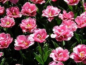 Tulpen Im Topf In Der Wohnung : blumenzwiebeln im topf berwintern tulpen ~ Buech-reservation.com Haus und Dekorationen