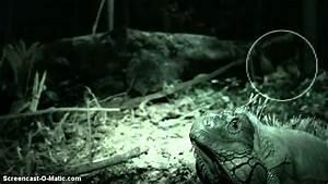Dodo Bird Found Alive