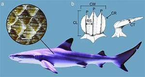 A  A Blacktip Reef Shark Carcharhinus Melanopterus With