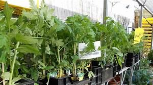 Gurken Pflanzen Gewächshaus : veredelte gurken und tomaten ~ Pilothousefishingboats.com Haus und Dekorationen