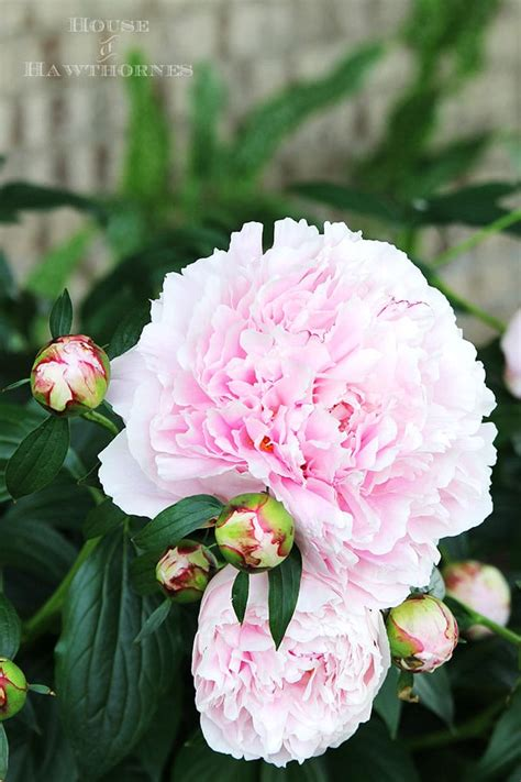 grow peony how to grow peonies your neighbors will envy house of hawthornes