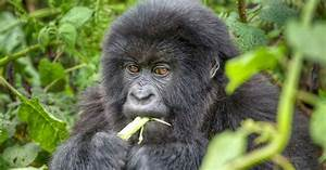 Young mountain gorilla eating while surrounded by greenery ...