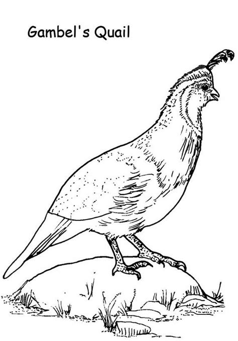 Quail Coloring Page Gambel Quail Coloring Page Color