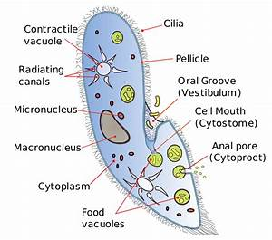 Difference Between Amoeba And Paramecium