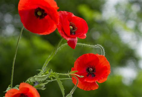 pics of poppy plants poppy red seeds greenmylife anyone can garden