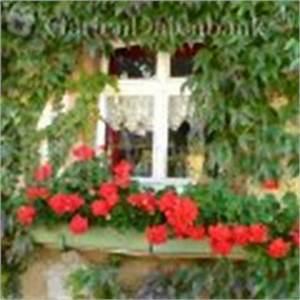 Wilder Wein Vermehren : geranien berwintern vermehren pflege h ngegeranien duftgeranien pelargonien pelargonium infos ~ Orissabook.com Haus und Dekorationen