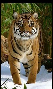 Pin by Kathy Magallanes on ANIMAL'S in 2020 | Tiger ...