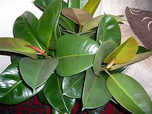 Plante Verte D Appartement : le caoutchouc ficus elastica est une belle plante verte ~ Premium-room.com Idées de Décoration
