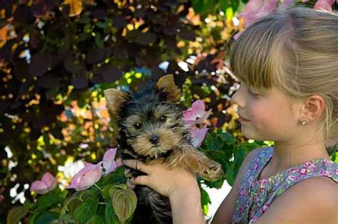 do yorkies shed do yorkies shed why your quot non shedding quot is losing so