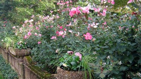 when to plant roses how to prune knock out rose