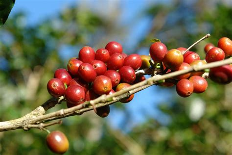 Coffee beans / drip coffee bags. Introducing: Geisha Coffee
