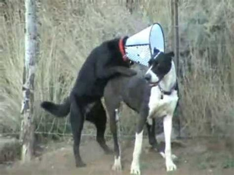 great dane mission impossible youtube