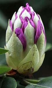 Rhododendron Blüten Schneiden : wann darf ich rhododendron schneiden ~ A.2002-acura-tl-radio.info Haus und Dekorationen