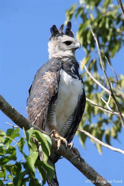 Harpy Eagle (Harpia harpyja) in Explore Raptors: Facts ...