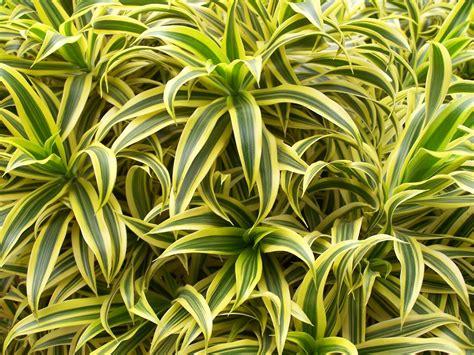 plante de cuisine plante dépolluante 10 plantes dépolluantes pour votre