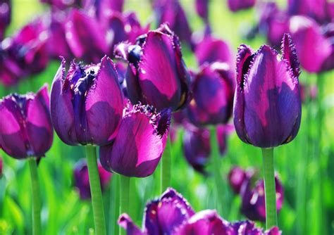 die farben der tulpen bedeuten ein leitfaden blog